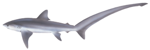 Common thresher shark (Alopias vulpinus)