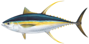 Drawing of a Thunnus albacares