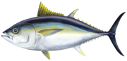 Drawing of a Thunnus obesus